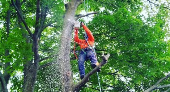 Toronto Maple Tree Pruning